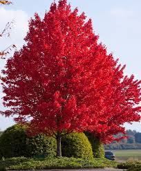 October Glory Shade Tree for Landscaping