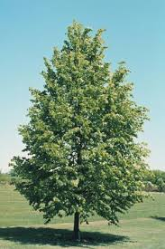 Little Leaf Linden Shade Tree for Landscaping